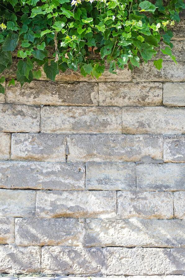 vecchio-muro-di-mattoni-con-l-edera-72094326 (2)